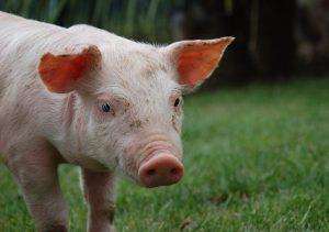 養豚場のぶた